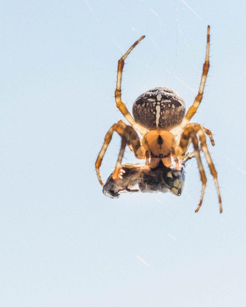 kreuzspinne wespe gefangen