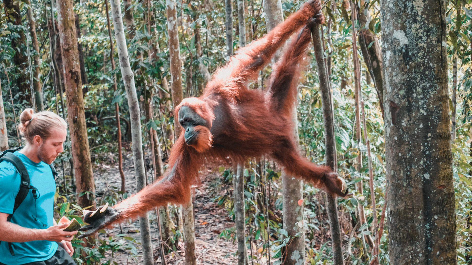 orang utans sumatra